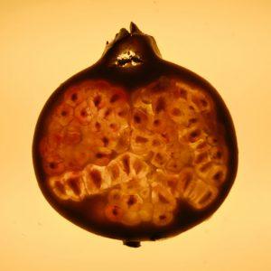 Granaatappel - Fruit